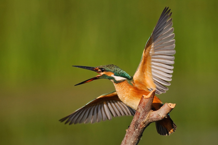 Kingfisher sitting on a stick with wings spread on a beautiful background. Stock Photo