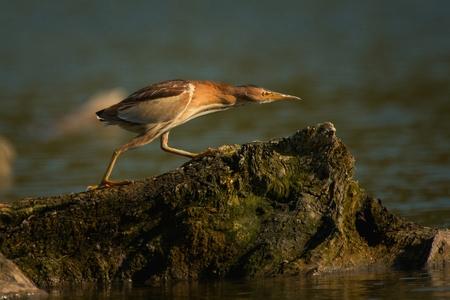 Little bittern (Ixobrychus minutus) in wild.