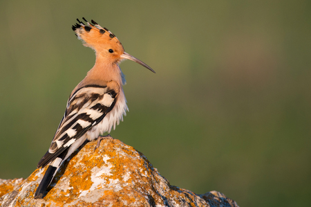 Hoopoe on a green background. Stock Photo