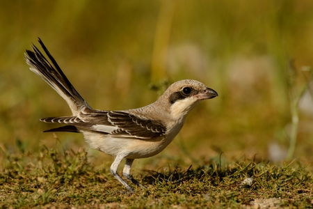 Esser grey shrike (Lanius minor) stands with a raised tail.