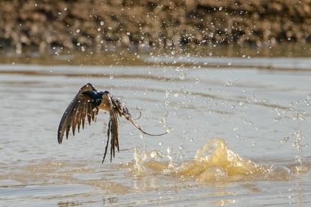barn swallow bathing (Hirundo rustica)