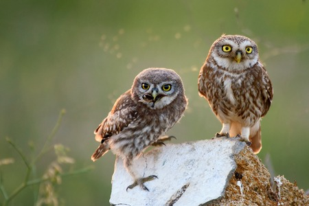 A young little owl standing on the stone near his parents with prey in beak on a beautiful background.