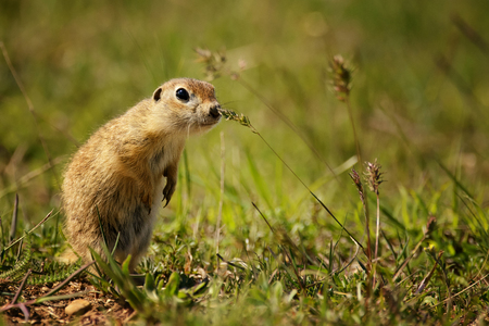 Funny ground squirrel on the ground with a leaf in his mouth.