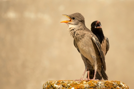 young and adult rosy Starling stands on a beautiful background.