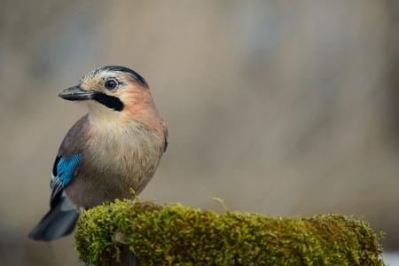 Eurasian jay on the winter bird feeder.