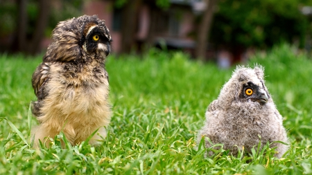 the Chicks of long-eared owl (Asio otus) and short-eared owl (Asio flammeus) sitting in the grass Stock Photo