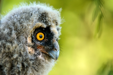 portrait of a juv long-eared owl (Asio otus). Stock Photo
