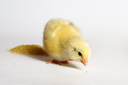Little chick lies on an isolated background.