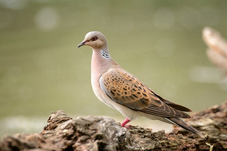 Turtle dove on a beautiful green background (Streptopelia turtur).