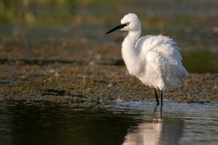 Little egret, Egretta garzetta, single bird standing in water.