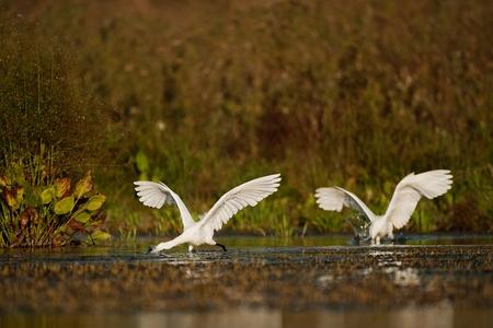 Little egret, Egretta garzetta, two birds looking for food.