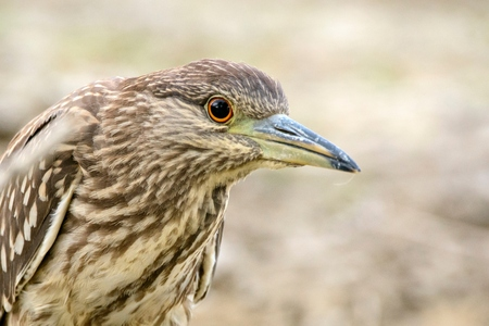 Juvenile Black-crowned night heron called (Nycticorax nycticorax). Close Up