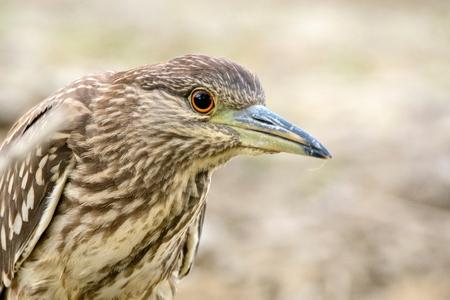 Juvenile Black-crowned night heron called (Nycticorax nycticorax). Close Up