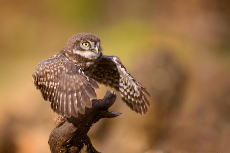 A young little owl standing on a stick with wings spread. Stock Photo