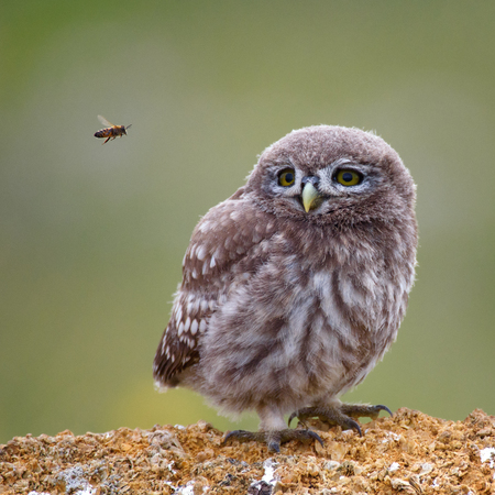 The little owl standing on stone and looking at a flying bee. Stock Photo