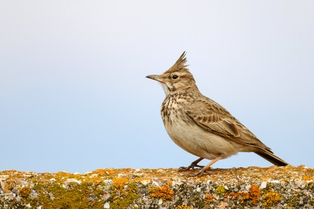 Crested lark (Galerida cristata) sitting on a concrete fence on sky background.