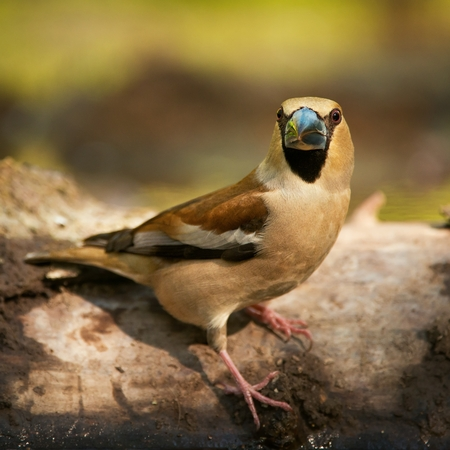 portrait of a hawfinch (Coccothraustes coccothraustes).