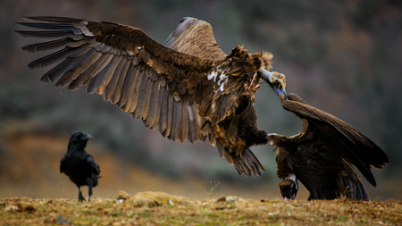 Cinereous vulture (Aegypius monachus) attacks. Stock Photo