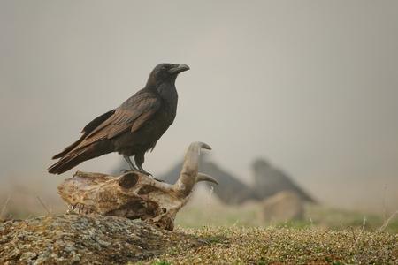 Raven sitting on a skull in the fog.