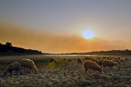 Flock of sheep grazing at sunset. Banco de Imagens - 95564597