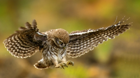 young ittle owl is flying. Stock Photo