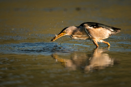 Little bittern with fish in beak ( Ixobrychus minutus).