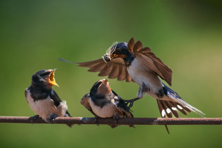 Barn swallow (Hirundo rustica) feeding her nestling in flight.