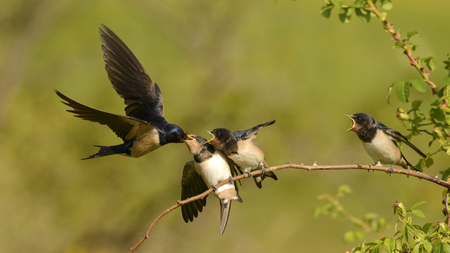The barn swallow feeds one of its four nestling in flight. Stock Photo