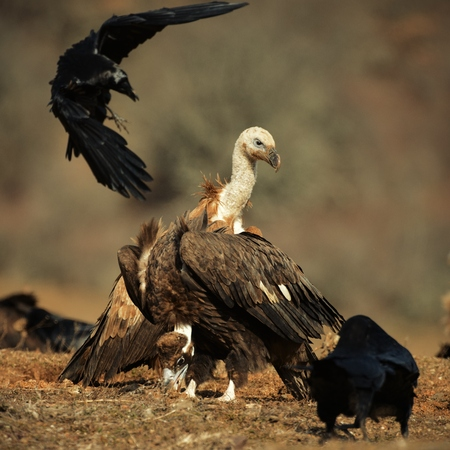 griffon vulture (Gyps fulvus) and Cinereous vulture (Aegypius monachus).