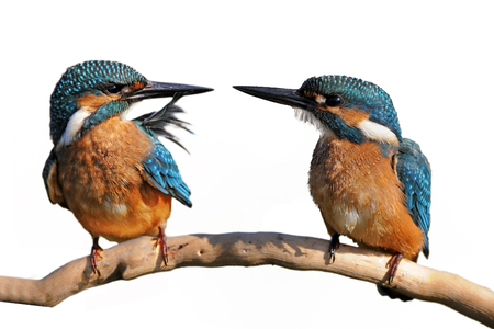Collage of Kingfisher (Alcedo atthis) on a stick Foto de archivo