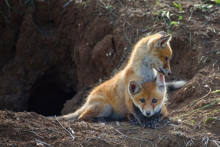 Two young Fox playing near his hole