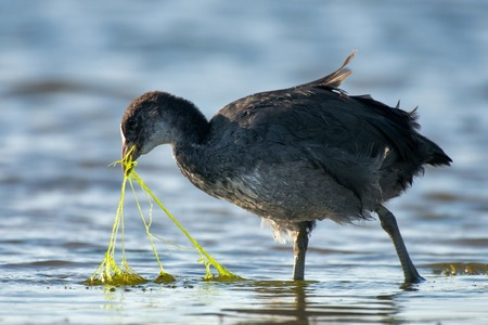 Common coot (Fulica atra) looking for food in the pond Stock Photo