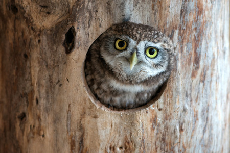 The little owl (Athene noctua) peeps out of the hollow.