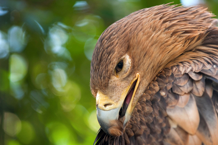 Eastern imperial eagle (Aquila heliaca) preens its feathers