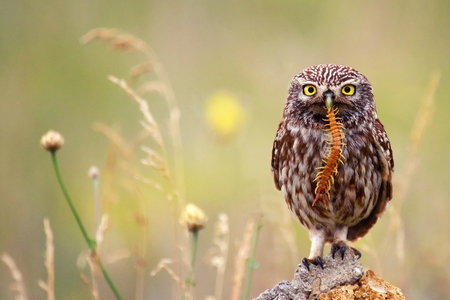 The little owl sits on a stone with a centipede in its beak on a beautiful background. Stok Fotoğraf