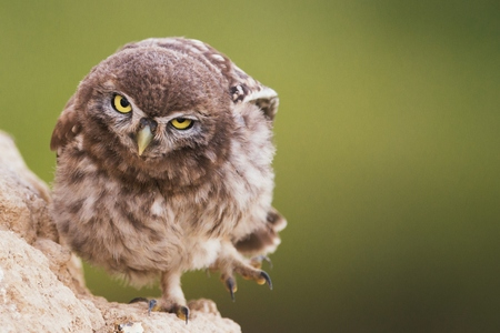 A young little owl stands near his hole and looking at the camera. Stock Photo