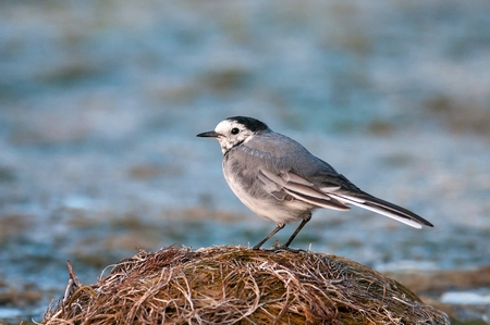 White wagtail (Motacilla alba) at the beach, sitting on the shore of the pond.