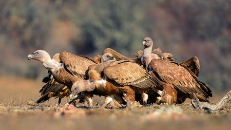 Two griffon vulture (Gyps fulvus).