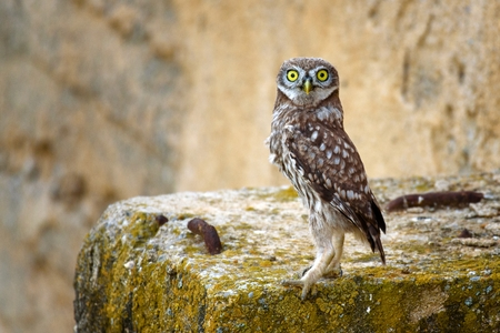The little owl (Athene noctua) standing and looking at camera on a beautiful background.