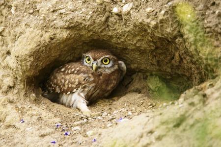 Little owl ( Athene noctua) in a hole. Stock Photo