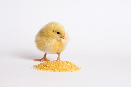 Little chicken isolated on white 写真素材