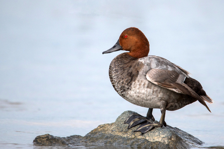 Common pochard male (Aythya ferina) stands on stone in water. Stock Photo