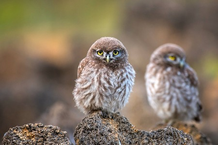 Young little owl (Athene noctua) stands on a stone and looking at the camera.