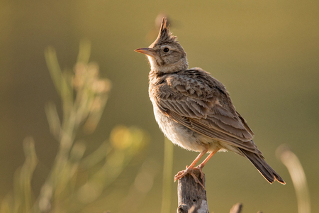 Crested lark (Galerida cristata) sitting on a wooden stick on a beautiful Sunny background. 스톡 콘텐츠