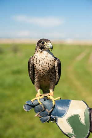Closeup portrait of a peregrine falcon posing on the hand of the falconer