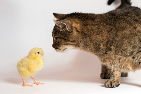 little chicken broiler with cat on white background. 写真素材