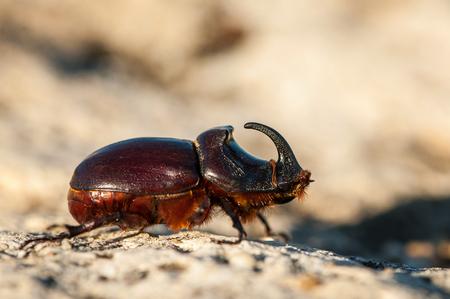 European rhinoceros beetle in the wild - Oryctes nasicornis Stock Photo