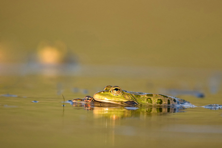 Green frog croaking on a beautiful background. Stock Photo