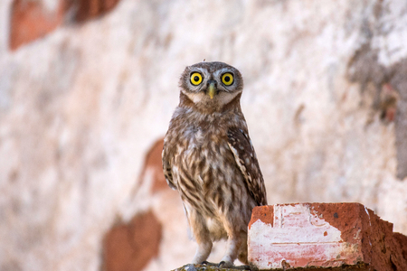 The little owl (Athene noctua) stands near his hole Stock Photo