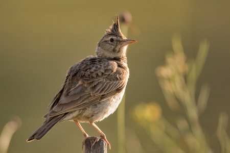 Crested lark (Galerida cristata) sitting on a wooden stick.